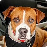 Adopt A Pet :: Maynard - Beverly Hills, CA