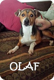 Beagle/Chihuahua Mix Dog for adoption in Chicagoland area, Illinois - OLAF