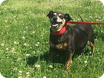 Miniature Pinscher Mix Dog for adoption in Gallatin, Tennessee - Cody & Johnny