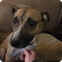 Shepherd (Unknown Type) Mix Dog for adoption in Fairview Heights, Illinois - Gaya