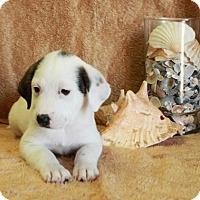 Adopt A Pet :: Nokomis - Spring Valley, NY