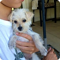 Adopt A Pet :: Daisy Snowflake - Fresno, CA