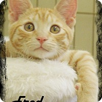 Domestic Shorthair Kitten for adoption in Anaheim Hills, California - Fred