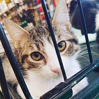 Domestic Shorthair Kitten for adoption in Phoenix, Arizona - Dude