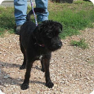 Standard Schnauzer Mix Puppy for adoption in Waco, Texas - Ollie the Magnificent