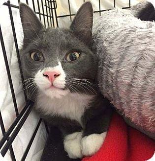 Domestic Mediumhair Kitten for adoption in Lombard, Illinois - Harry