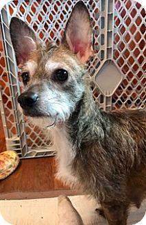 Cairn Terrier/Norfolk Terrier Mix Dog for adoption in ST LOUIS, Missouri - SUZIE