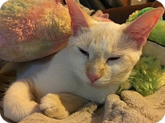 Siamese Cat for adoption in DeRidder, Louisiana - Buttermilk