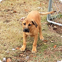 Black Mouth Cur/Labrador Retriever Mix Puppy for adoption in Hagerstown, Maryland - Tess (adopted)
