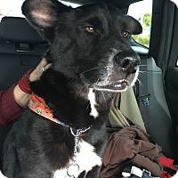 Adopt A Pet :: Dolce - Miami, FL