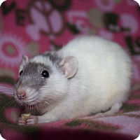 Rat for adoption in Columbia, South Carolina - Ginny
