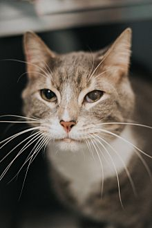 Domestic Shorthair Cat for adoption in Indianapolis, Indiana - Conrad