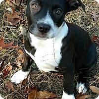 Adopt A Pet :: Comet - Manchester, NH