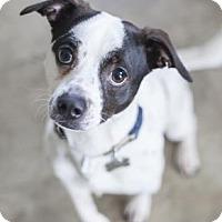 Adopt A Pet :: Siete 2 - Chicago, IL