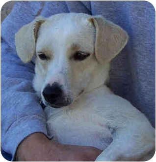 jack russell terrier white lab mix - photo #42