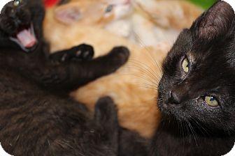 Domestic Shorthair Kitten for adoption in Santa Monica, California - Alesandro