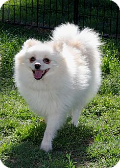 Pomeranian Dog for adoption in Lodi, California - Misty