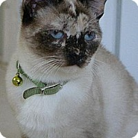 Siamese Cat for adoption in Austin, Texas - Rogue