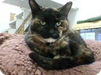 Domestic Shorthair Cat for adoption in Delmont, Pennsylvania - Shelly