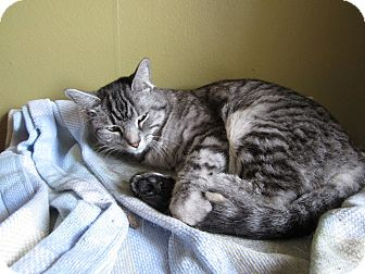 Domestic Shorthair Cat for adoption in St. Louis, Missouri - Dinah