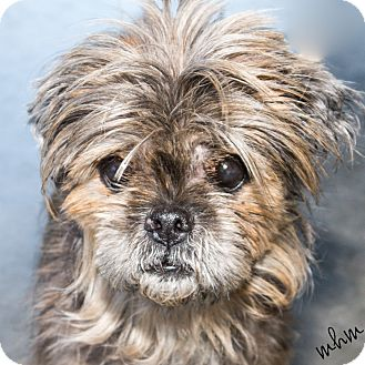 shih tzu mix rescue naperville il shih tzu mix meet ichibo a dog for adoption 6304
