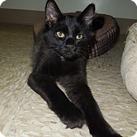 Adopt A Pet :: American Pharoah - Medina, OH
