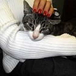 Photo 2 - Domestic Shorthair Cat for adoption in Barnegat, New Jersey - Handsome Harry