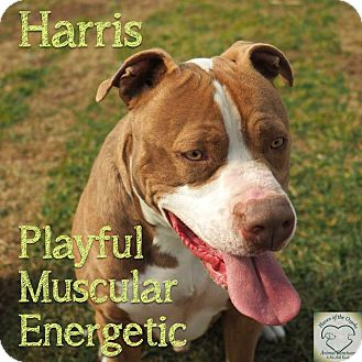 Pit Bull Terrier Mix Dog for adoption in Washburn, Missouri - Harris
