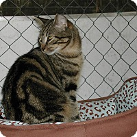 Domestic Shorthair Cat for adoption in Bonita Springs, Florida - Colin
