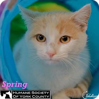 Domestic Mediumhair Cat for adoption in Fort Mill, South Carolina - Spring