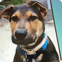 Adopt A Pet :: BOGART VON BOTTCHER - Los Angeles, CA