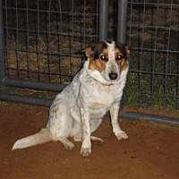 Corgi/Blue Heeler Mix Dog for adoption in Anton, Texas - Sassafrass