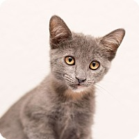 Adopt A Pet :: Ashen - Fountain Hills, AZ