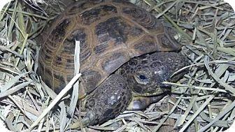Tortoise for adoption in Ellicott City, Maryland - 22903 - Imber