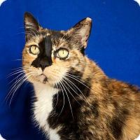 Domestic Shorthair Cat for adoption in Coronado, California - Dixie