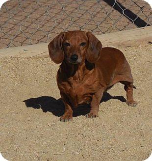 Dachshund Dog for adoption in Anaheim, California - Abigail
