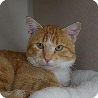 Domestic Shorthair Cat for adoption in Denver, Colorado - Soju