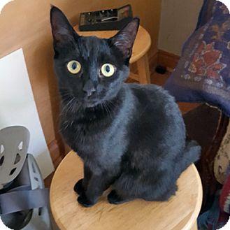Domestic Shorthair Cat for adoption in Mississauga, Ontario, Ontario - Alabaster