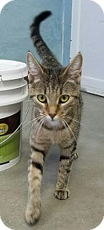 Domestic Shorthair Cat for adoption in Manteo, North Carolina - Billie Jo