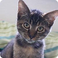 Domestic Shorthair Kitten for adoption in Joplin, Missouri - Cocoa
