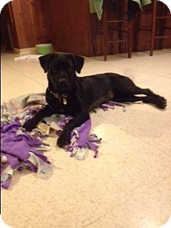 Labrador Retriever Dog for adoption in Dallas, Texas - Dolly