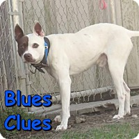 Adopt A Pet :: Blues Clues - Georgetown, SC