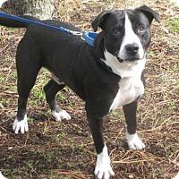 Adopt A Pet :: Socks - Voorhees, NJ