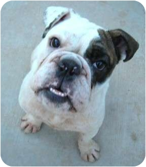 English Bulldog Dog for adoption in Gilbert, Arizona - Mikey**adoption pending**