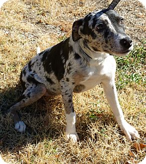 Catahoula Leopard Dog/Blue Heeler Mix Puppy for adoption in Everman ...