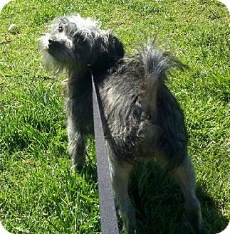 Cairn Terrier/Terrier (Unknown Type, Small) Mix Dog for adoption in Mission Viejo, California - MARKY MARK