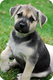Labrador Retriever/German Shepherd Dog Mix Puppy for adoption in Torrance, California - SHAY