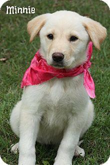 ... Mix Puppy for adoption in Brattleboro, Vermont - Pyrenees/Lab Mix