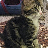 Adopt A Pet :: Nigel - Portland, OR