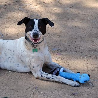 German Shorthaired Pointer Mix Dog for adoption in Bonsall, California - Mac